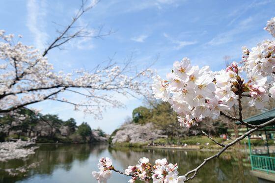 大宮公園 桜 白鳥池