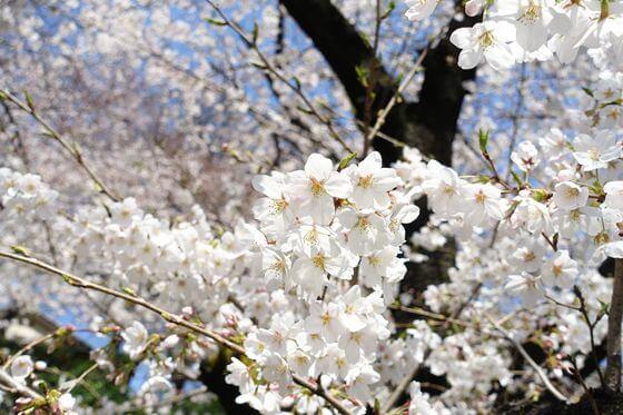 音無親水公園 桜 開花状況