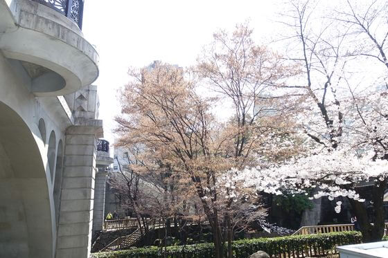 王子駅 桜