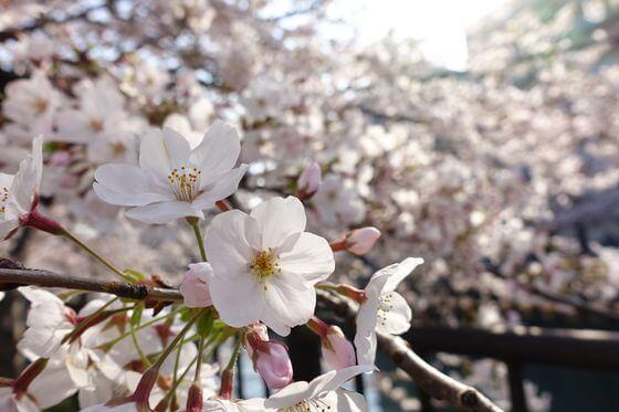 大岡川 桜 開花状況