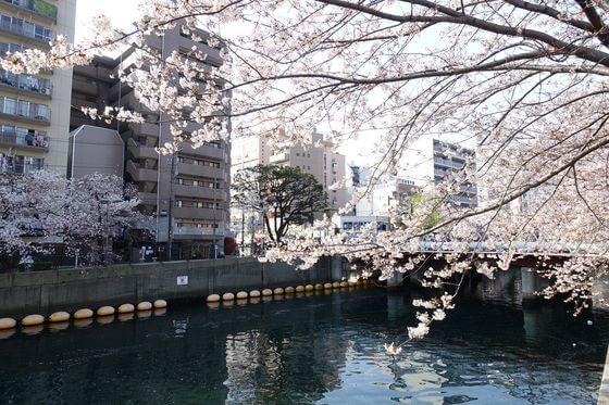 横浜 大岡川 桜