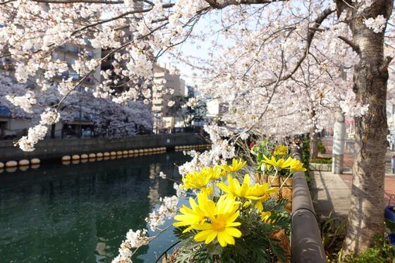 大岡川 横浜 桜