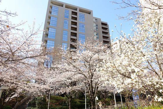 六本木さくら坂 桜 開花状況