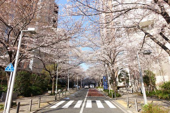 六本木 桜並木
