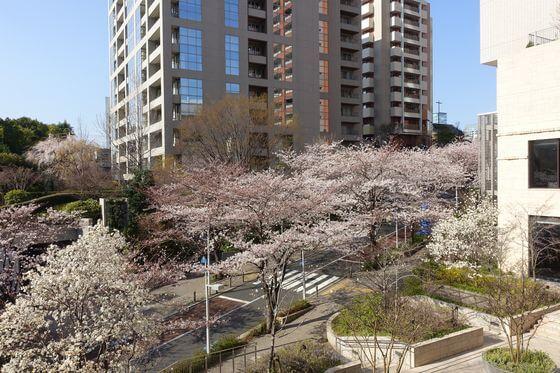 六本木さくら坂 桜 見頃