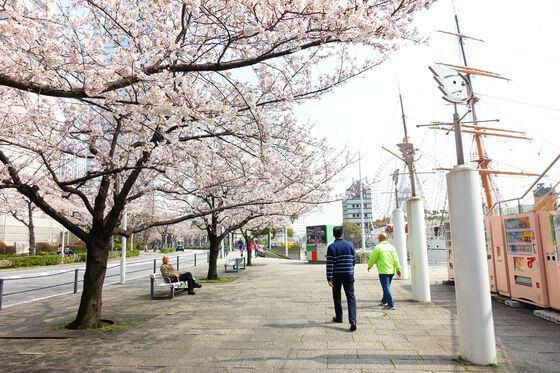 みなとみらい 桜並木