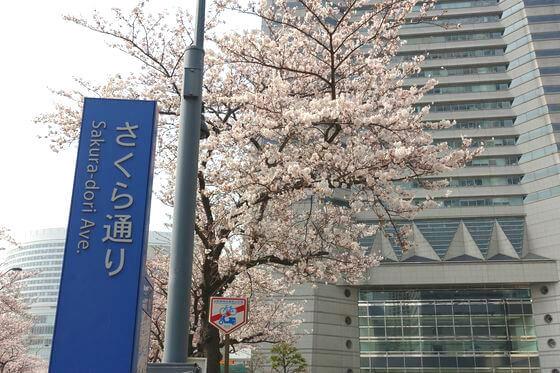 みなとみらい さくら通り 桜