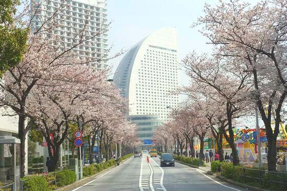 横浜 さくら通り 桜