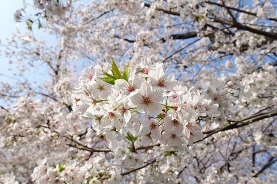 桜坂 桜 開花状況