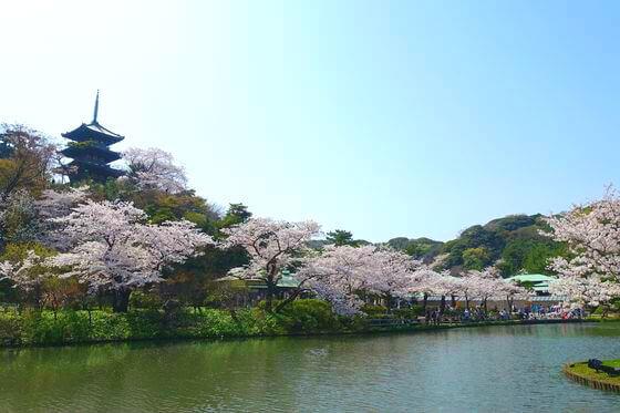 三渓園 桜