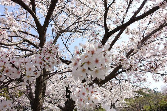 三渓園 桜 開花状況