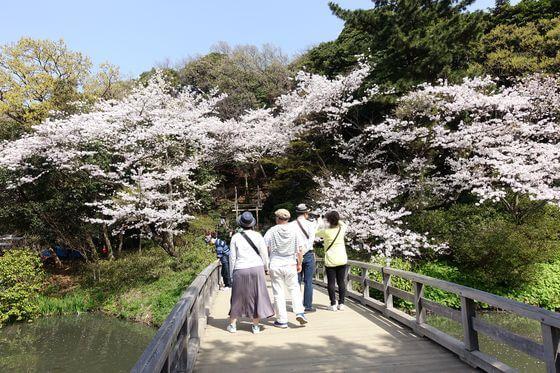 三渓園 桜 見頃