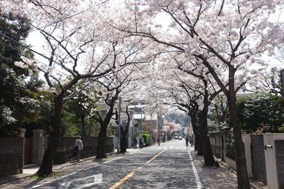 三渓園 桜並木