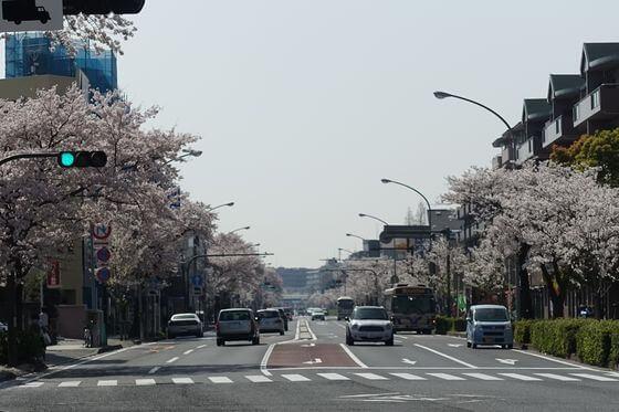 本牧通り 桜