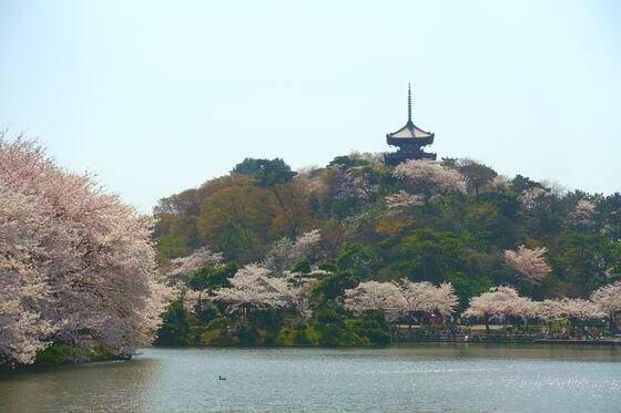 三渓園 三重塔 桜