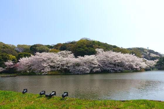 三渓園 桜 ライトアップ