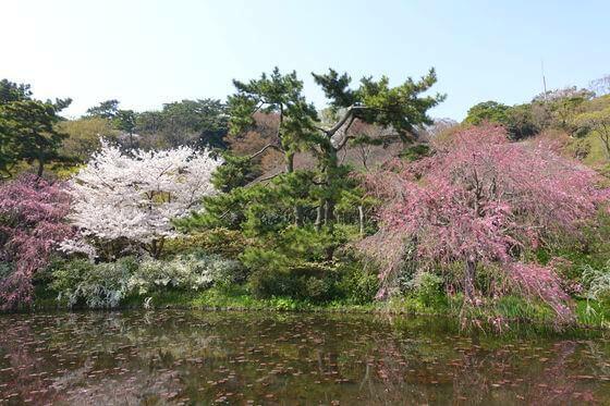 三渓園 しだれ桜