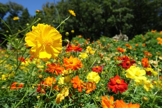 コスモス 里山ガーデン
