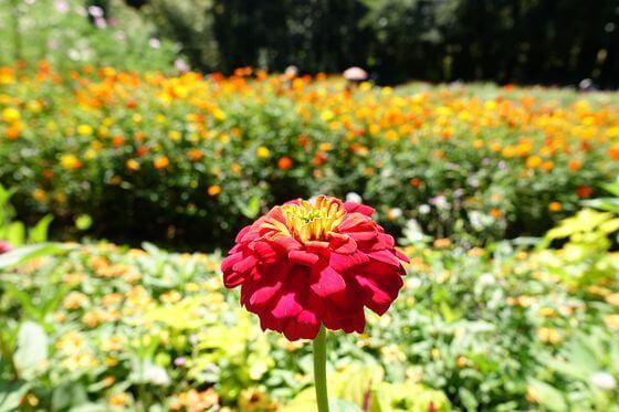 里山ガーデン ジニア
