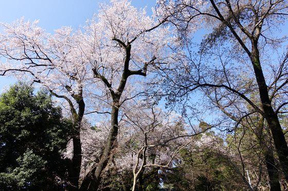 仙波東照宮 桜