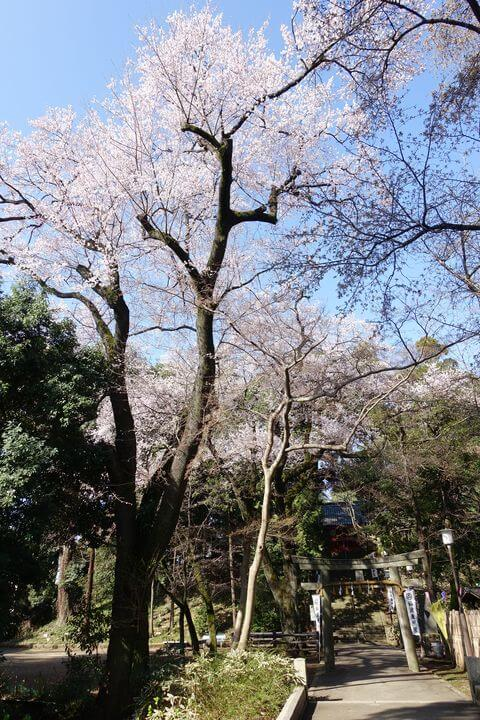仙波東照宮 エドヒガン桜