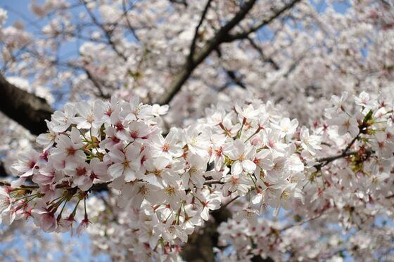田園調布 桜