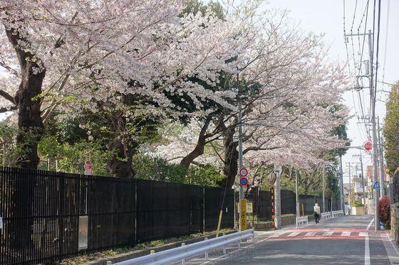 田園調布せせらぎ公園 桜