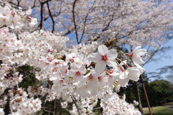 国営昭和記念公園 桜 開花状況