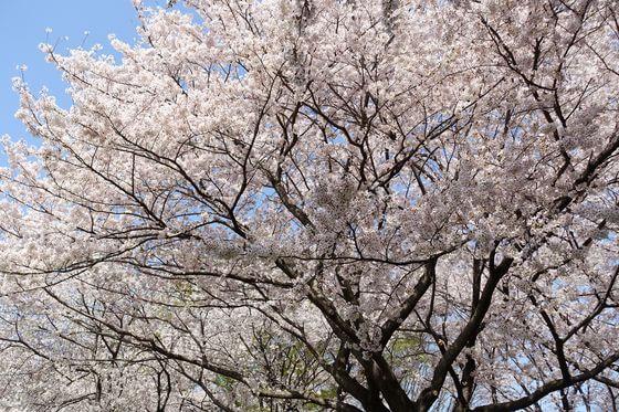 昭和記念公園 お花見