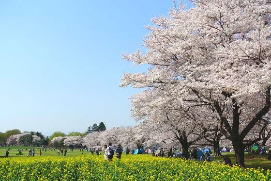 国営昭和記念公園 桜 見頃