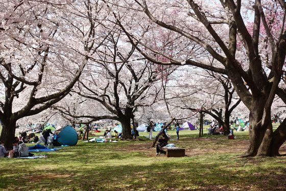 国営昭和記念公園 花見 混雑