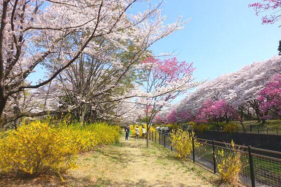 国営昭和記念公園 花見