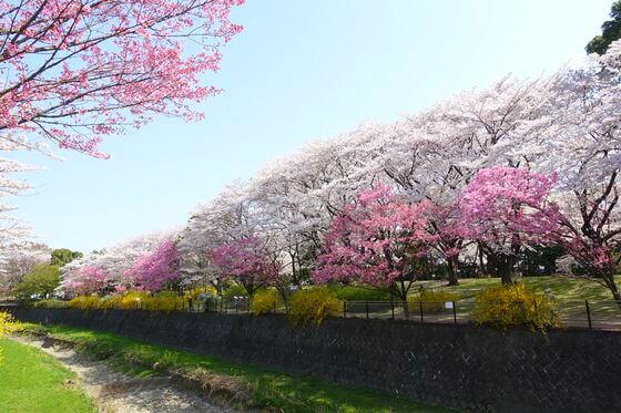 国営昭和記念公園 桜 場所