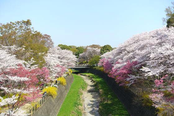 国営昭和記念公園 桜