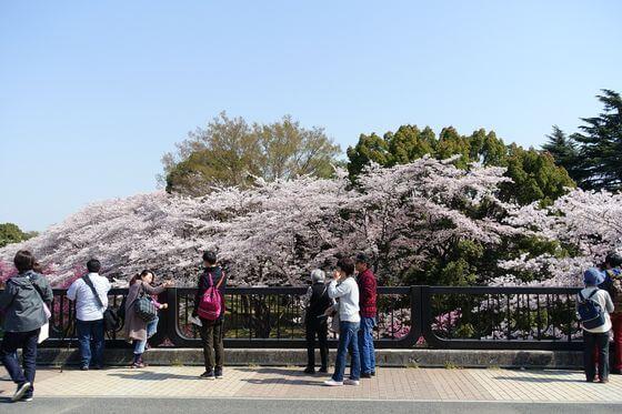 昭和記念公園 桜 場所