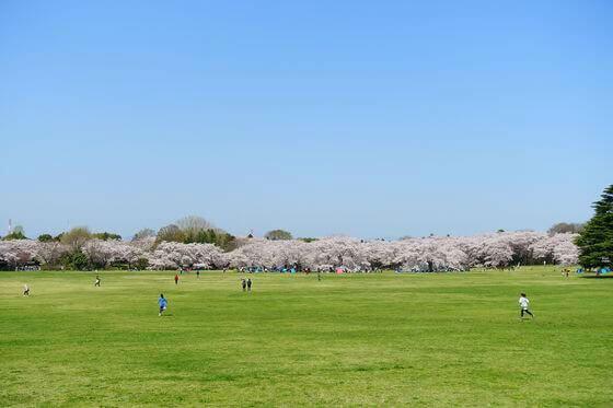 昭和記念公園 桜の園