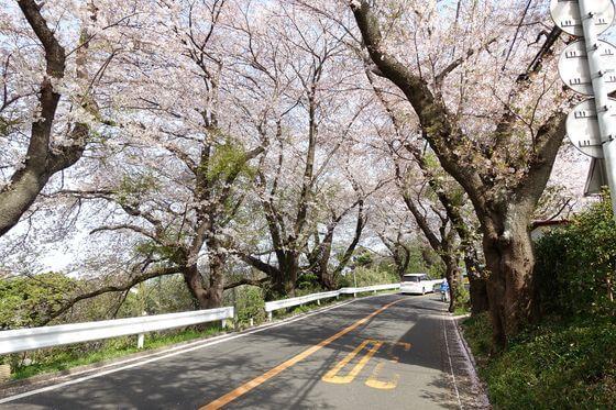 湘南平 桜並木