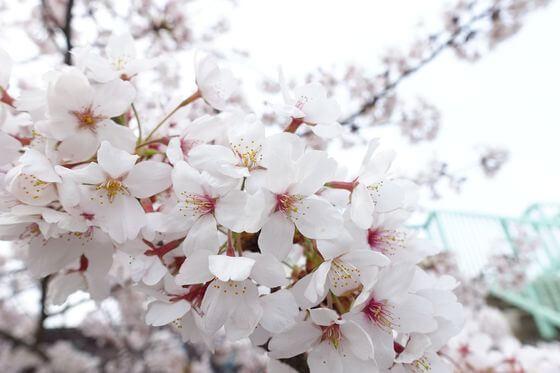 湘南平 桜 開花状況