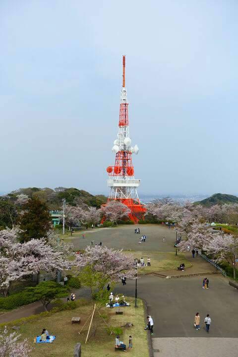 高麗山公園 桜