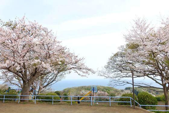 高麗山公園 花見