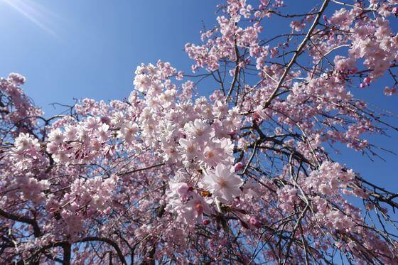 高尾さくら公園 枝垂れ桜
