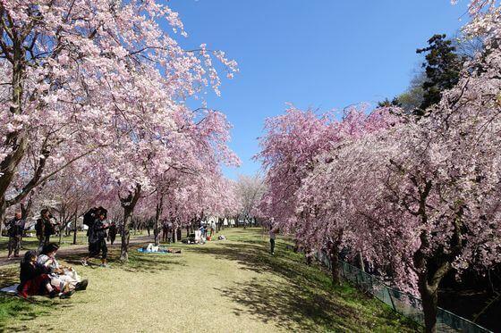 高尾さくら公園 桜