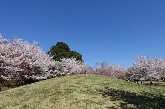 北本市 高尾さくら公園 桜