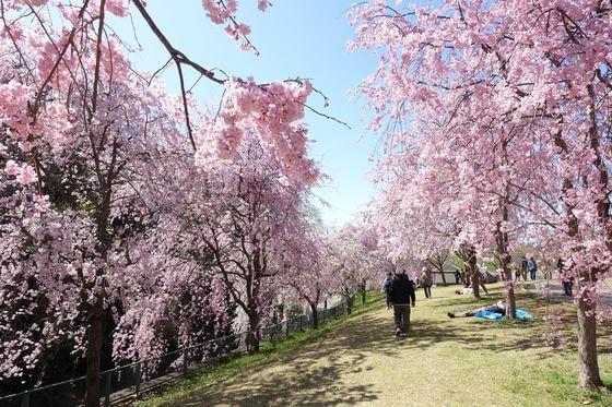 高尾さくら公園 しだれ桜
