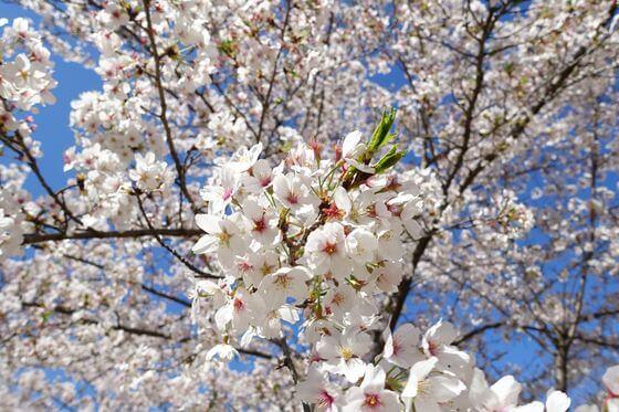 高尾さくら公園 桜 開花状況