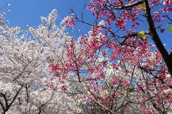 高尾さくら公園 桜祭り
