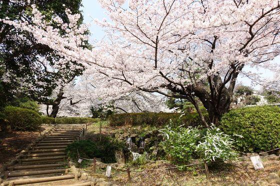 哲学堂公園 中野 桜