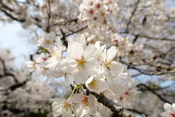 哲学堂公園 桜 開花状況