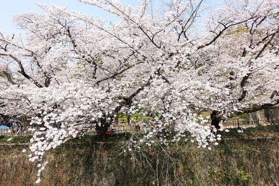 妙正寺川 桜