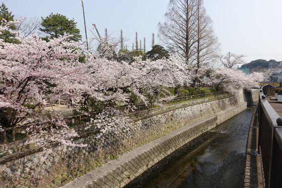 哲学堂公園 桜 見頃